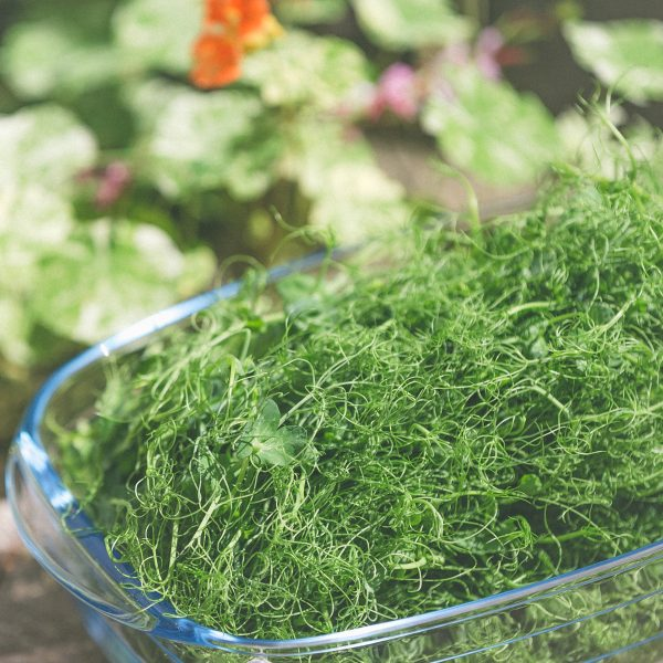 Pea Sprouts Microgreens